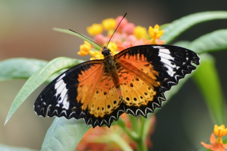 lacewing: Exotic butterfly: Leopard Lacewing (Cethosia cyane)