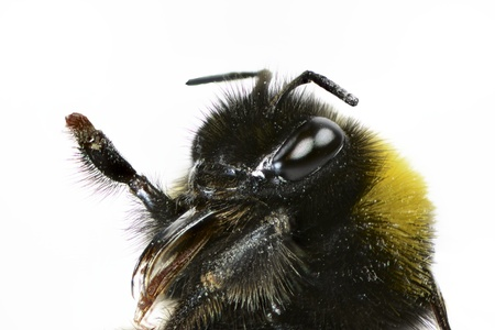 compound eyes: Macro of a bumblebee head on white