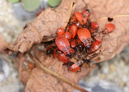 Many red firebugs  (pyrrhocoris apterus) on a withered leaf. photo