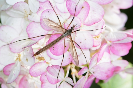 crane fly: Crane fly with long legs on a flower blossom. Stock Photo