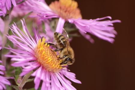 Bee collectin pollen on a pink aster flower Stock Photo - 24443808