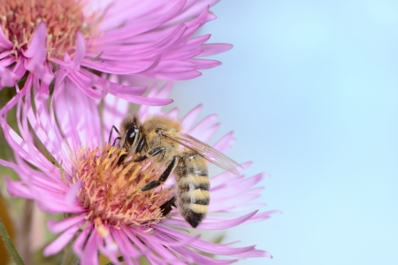 Bee collectin pollen on a pink aster flower photo