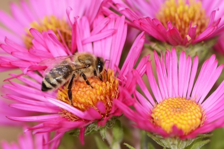 Bee collectin pollen on a pink aster flower Stock Photo - 25238120