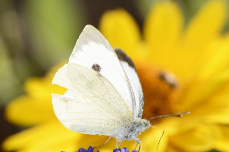 The Large White, Pieris brassicae, also called Cabbage Butterfly. photo