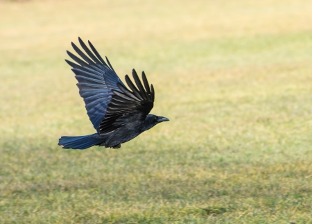 crows: Black craw flying over a meadow Stock Photo