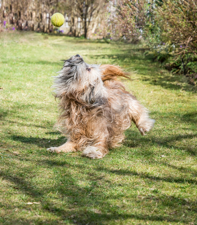 Tibetan terrier dog catching a ball photo