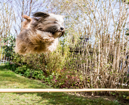Funny tibetan terrier dog jumping over a hurdle photo