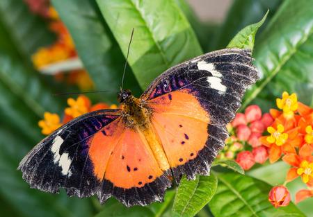 chrysope: Leopard Lacewing papillon aux ailes ouvertes