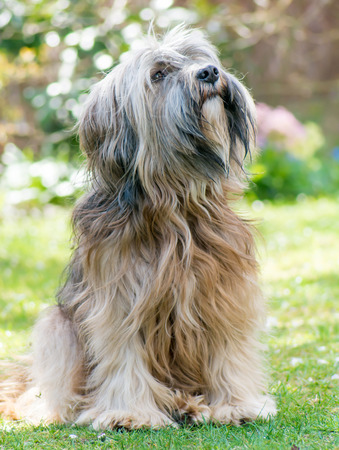 A male purebred tibetan terrier dog sitting in the meadow photo