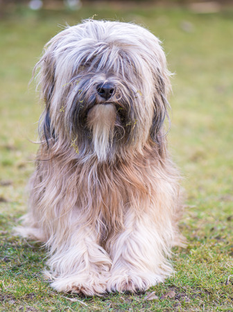 A male purebred tibetan terrier dog photo