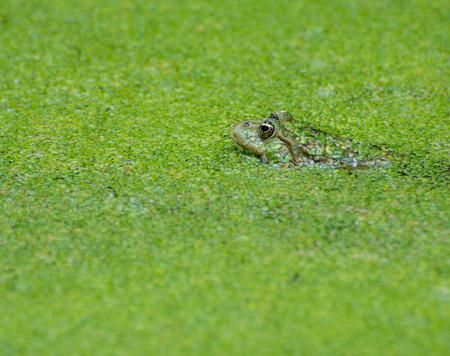 Green frog hidden in duckweed photo