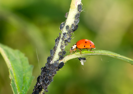 lice: Biological pest control - ladybug eating lice Stock Photo