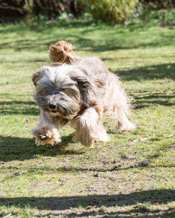 Funny tibetan terrier dog jumping in the garden photo