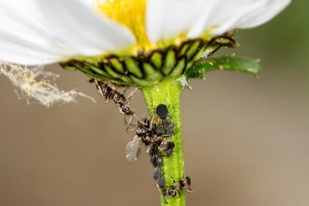 piojos: Los piojos y las Hormigas en el tallo de una flor
