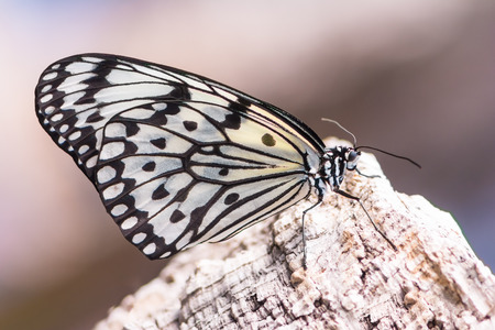 Idea Leucone butterfly, also called paper kite or tree nymph