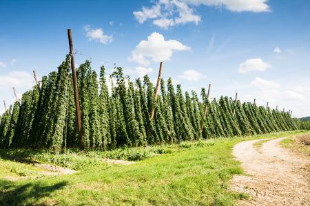 hopgarden: Dirt road along a hop garden in Bavaria