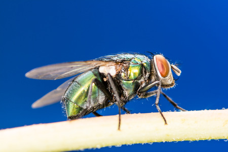 compound eye: Insect macro of a blowfly