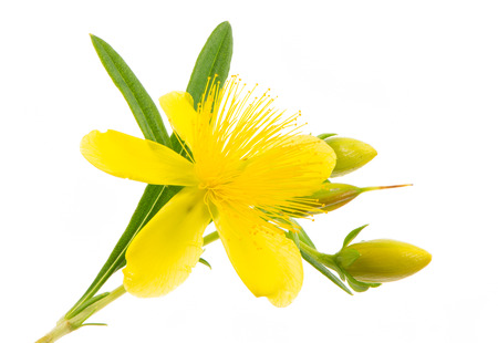 Isolated blossom of a hypericum flower Stock Photo - 33037839