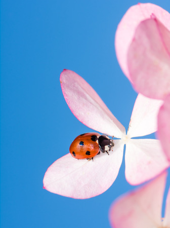 ladybeetle: A ladybug is crawling on pink flower blossoms Stock Photo