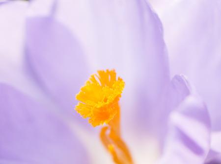 pistil: Pistil of a purple crocus blossom