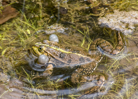 croaking: Croaking frog with filled vocal sacs Stock Photo