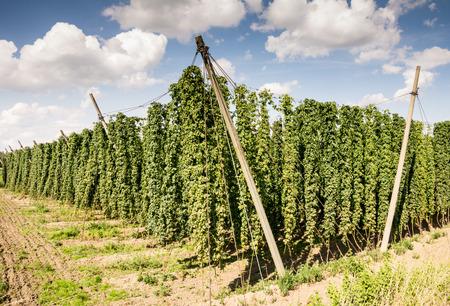 hop hops: Growing hops in a hop garden in Bavaria