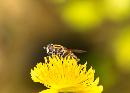 syrphid fly: Hoverfly on a yellow marsh marigold blossom Stock Photo