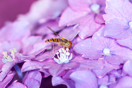 syrphid fly: Hoverfly collecting pollen at purple hydrangea flower blossoms
