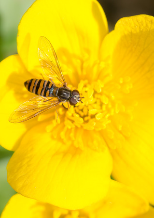 syrphid fly: Flower fly (hoverfly) on a yellow flower