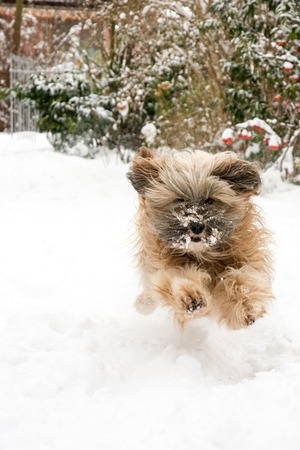dog agility: Dog agility - tibetan terrier running and jumping in the snow. Stock Photo