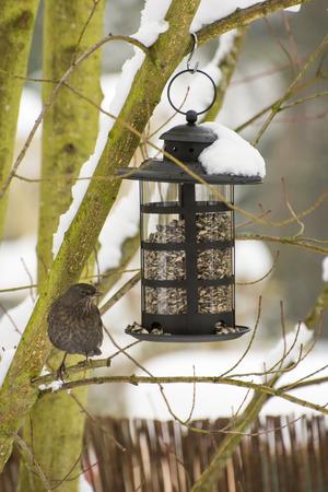 bird feeder: Blackbird in the winter sitting at a bird feeder filled with sunflower seeds Stock Photo