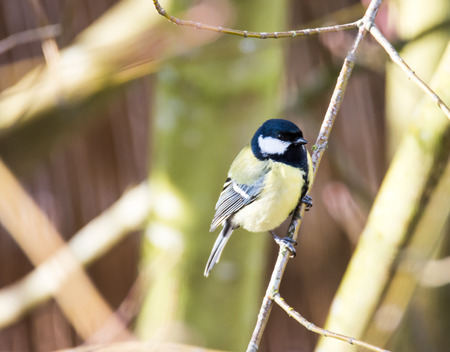 parus major: Great tit bird (Parus major) sitting on a twig.