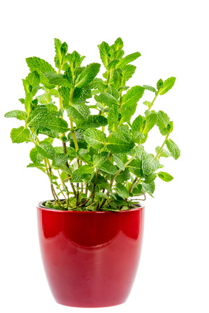red flower: Fresh mint plant in a ceramic pot isolated on white Stock Photo