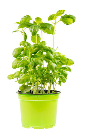 pot: Isolated fresh basil plant in a flower pot