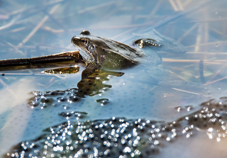 grenouille: Grenouille dans le milieu des oeufs de grenouille