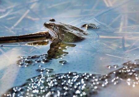rana: Rana en el medio de huevos de rana