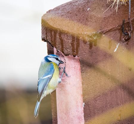 loophole: Blue tit bird sitting at a birdhouse