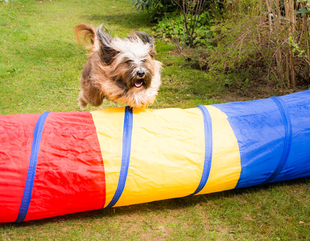 Funny tibetan terrier dog jumping over a hurdle in the garden photo