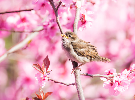 peach tree: Sparrow sitting between the blossoms of a pink flowering peach tree
