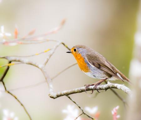 rubecula: European robin bird (Erithacus rubecula) sitting on a tree branch
