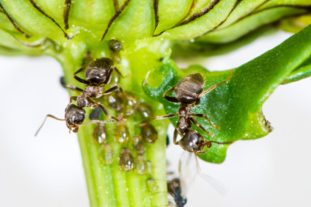 varmint: Lice and Ants on the stem of a flower