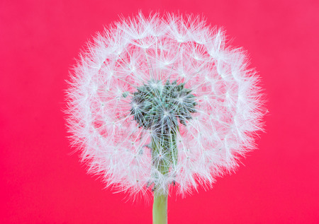 blowball: Abstact blowball - dandelion seeds on red background