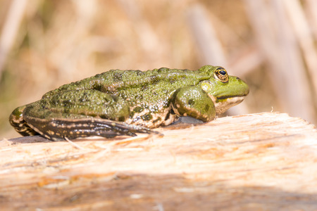 amphibians: Green frog sitting on a piece of wood