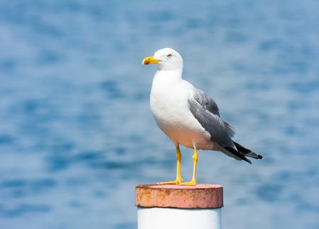 larus: Closeup of a yellow-legged gull (Larus michahellis)