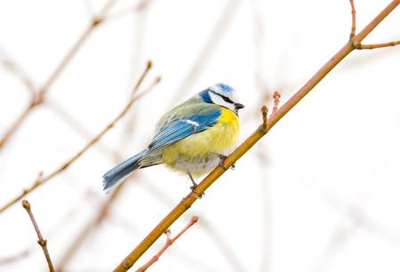 tit bird: Blue tit bird sitting on the twig of a tree