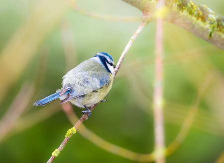 blue tit: Blue tit bird sitting on the twig of a tree