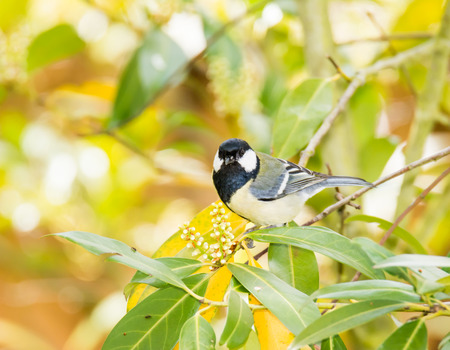 great bay: Great Tit bird (parus major) sitting on a bay tree branch