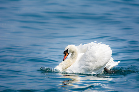 cygnus olor: White swan (cygnus olor) swimming in the water Stock Photo
