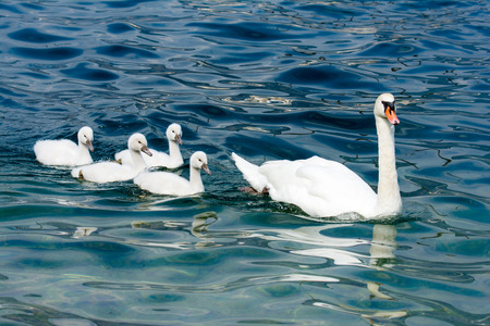 olor: Swan (cygnus olor) family with babies