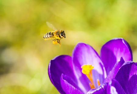 honeybee: Honeybee flying to a purple crocus flower Stock Photo